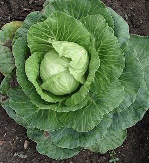 大勒蔬菜價格暴漲